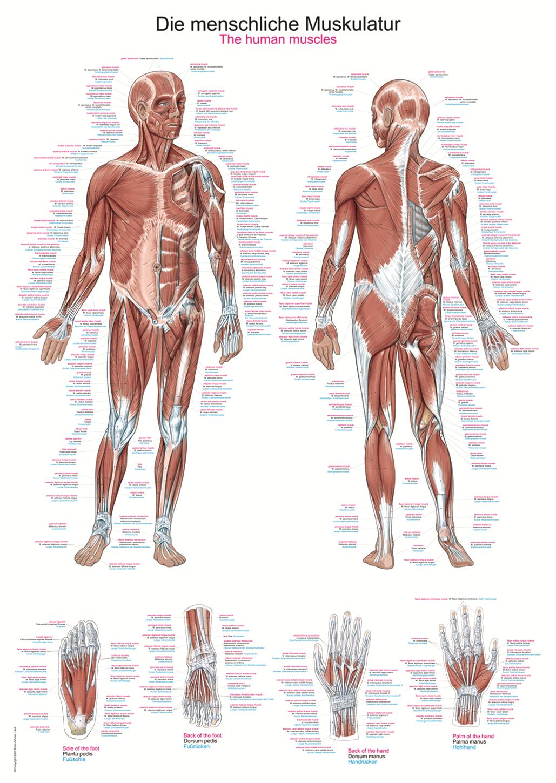 ERLER-ZIMMER | Anatomische Lehrtafel menschliche Muskulatur