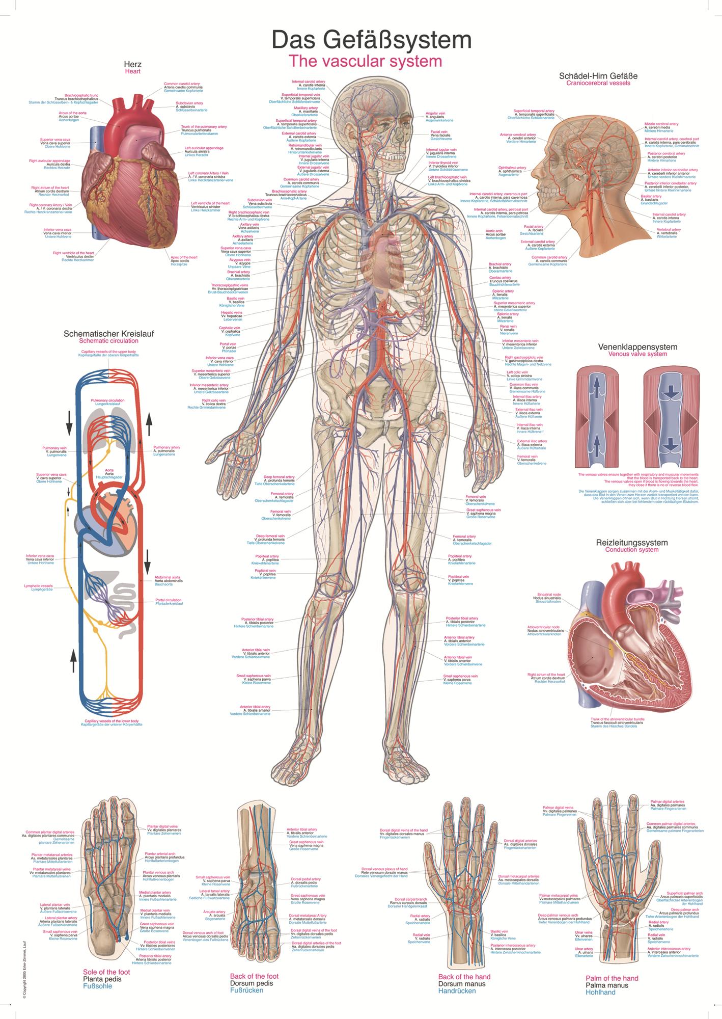 ERLER-ZIMMER Anatomische Lehrtafel Gefäßsystem