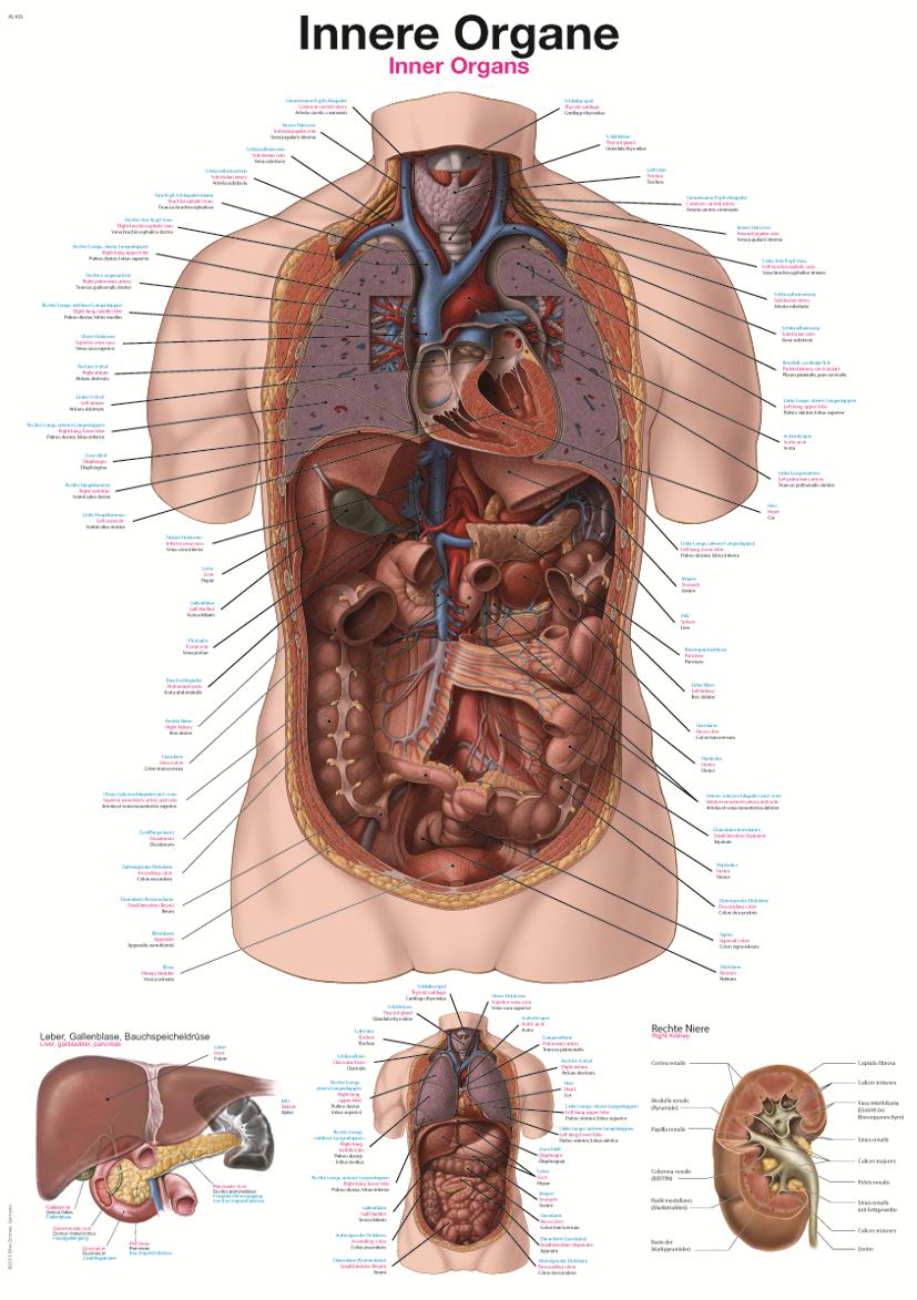 ERLER-ZIMMER Anatomische Lehrtafel innere Organe