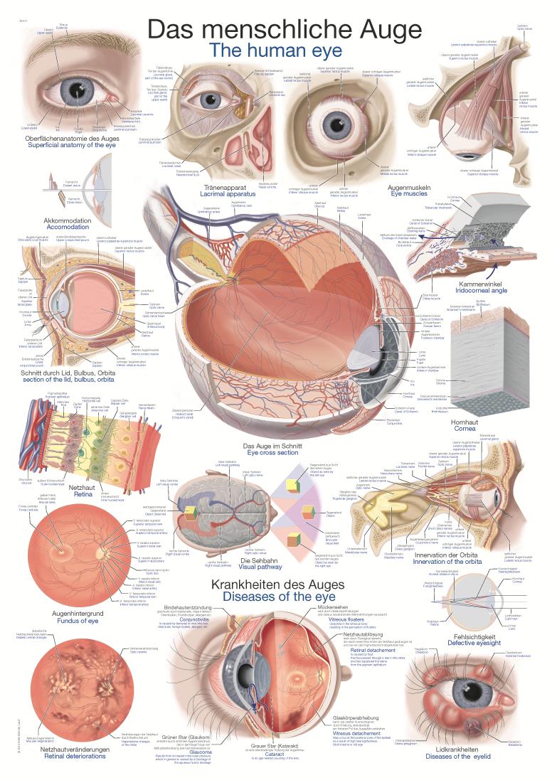 ERLER-ZIMMER Anatomische Lehrtafel menschliches Auge