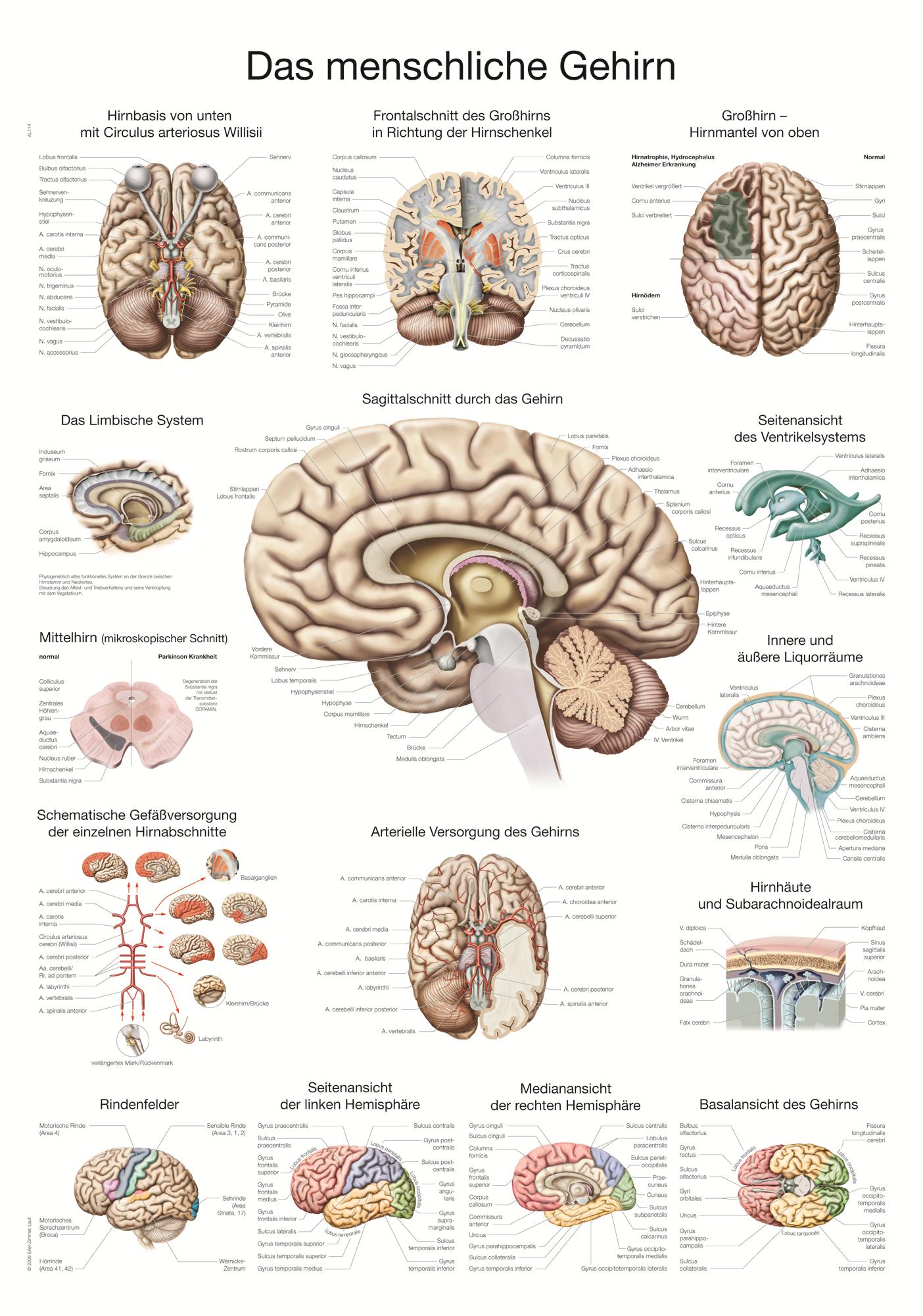 ERLER-ZIMMER Anatomische Lehrtafel menschliches Gehirn