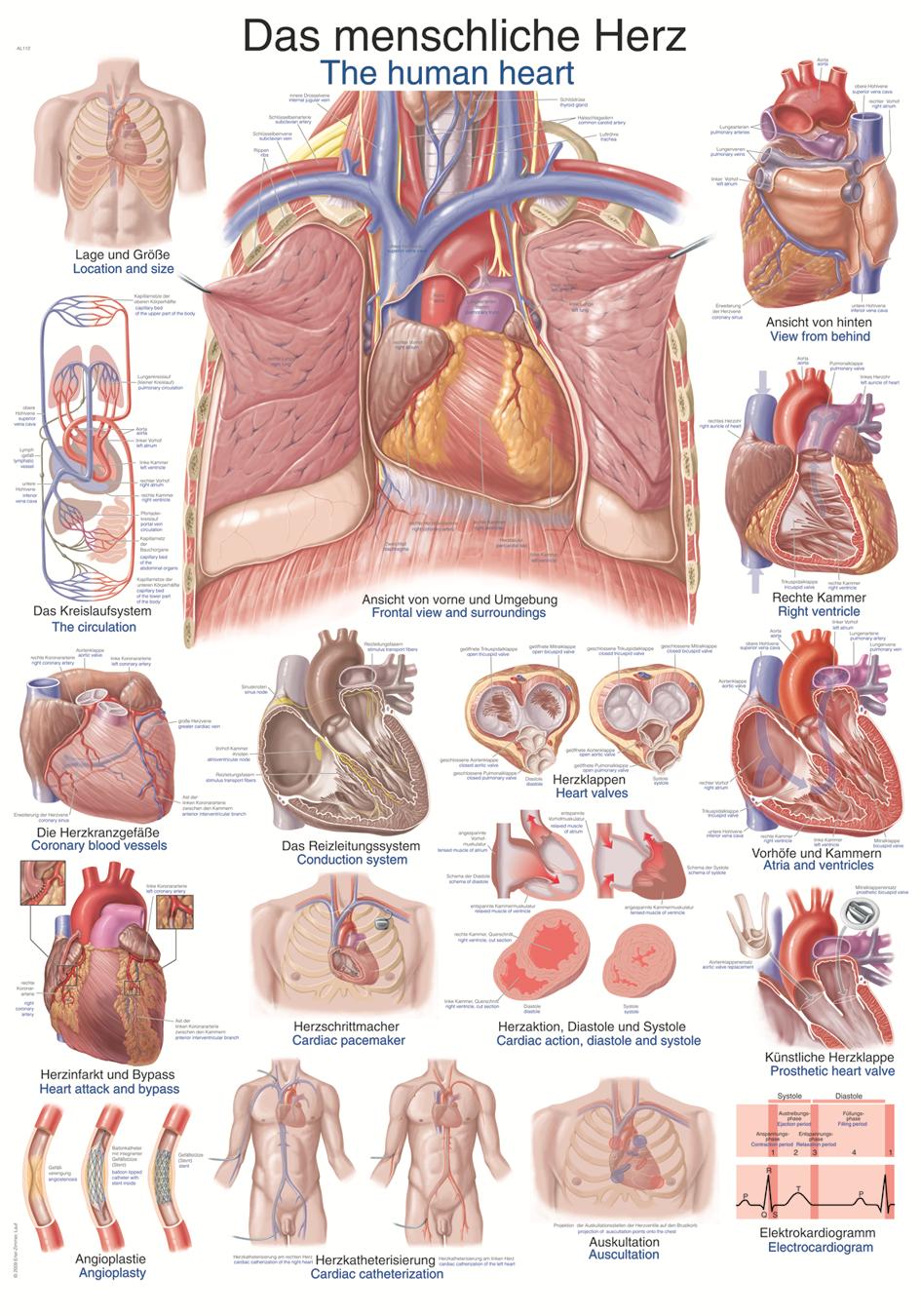 ERLER-ZIMMER Anatomische Lehrtafel menschliches Herz