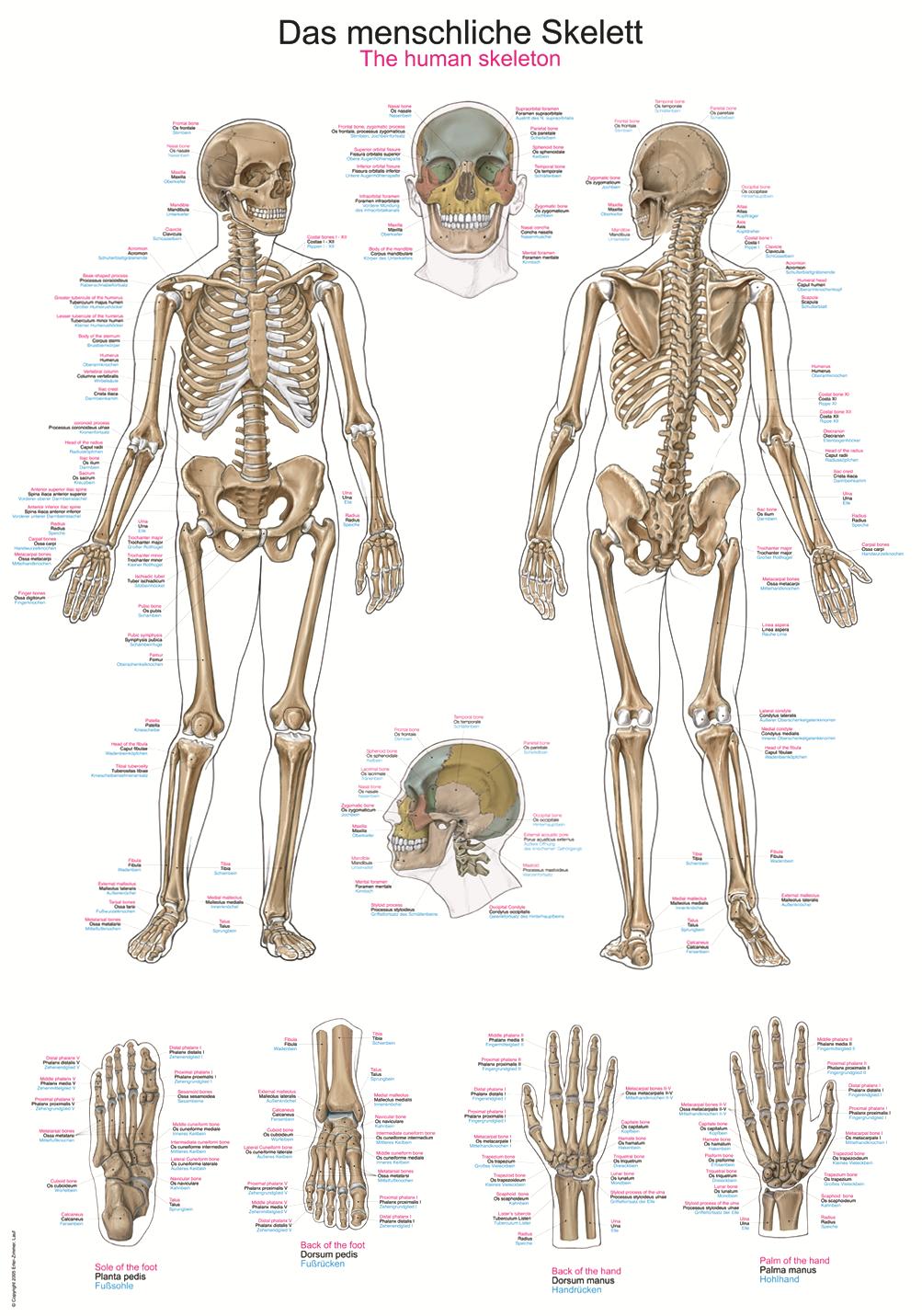 ERLER-ZIMMER | Anatomische Lehrtafel menschliches Skelett