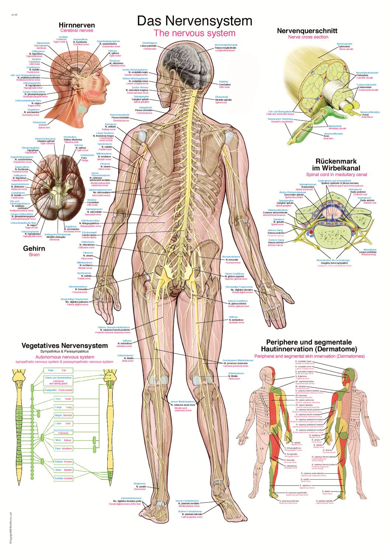 ERLER-ZIMMER Anatomische Lehrtafel Nervensystem