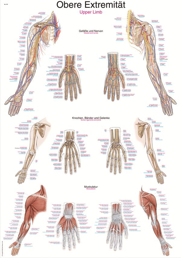 ERLER-ZIMMER Anatomische Lehrtafel obere Extremität