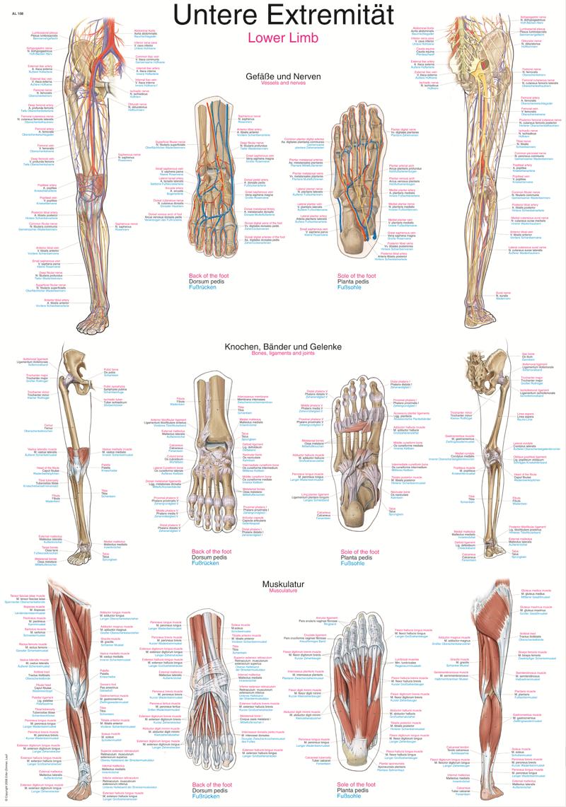 ERLER-ZIMMER Anatomische Lehrtafel untere Extremität