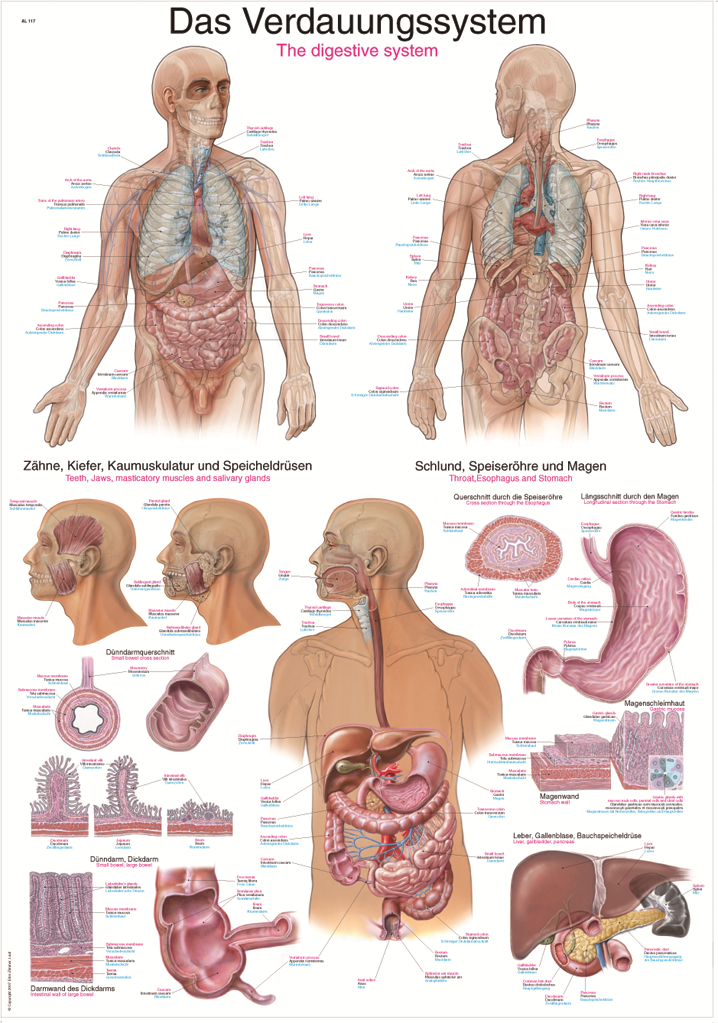 Fein Die Anatomie Des Atmungssystems Galerie - Menschliche Anatomie ...