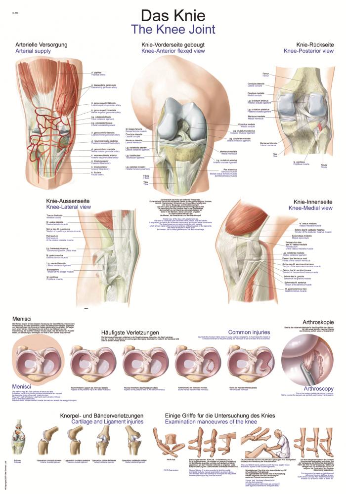 Niedlich Detaillierte Anatomie Des Knies Ideen - Anatomie Ideen ...